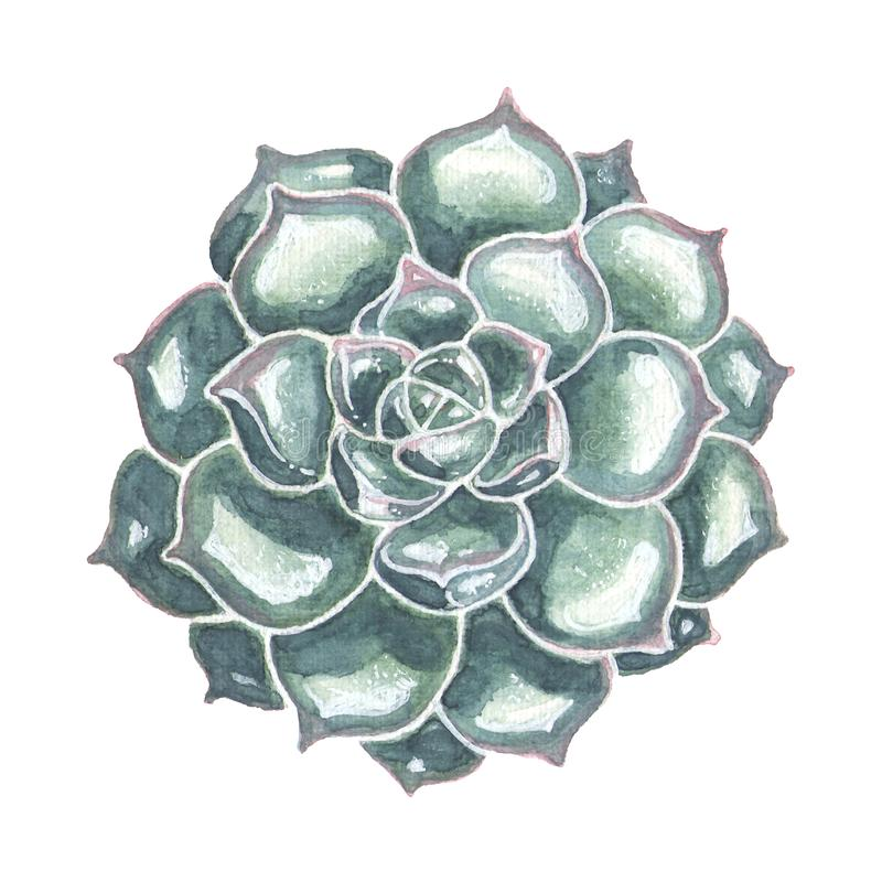 Single Succulent Closeup. Watercolor Illustration. Single succulent watercolor illustration. Hand drawn echeveria flower isolated on white background. Floral royalty free illustration