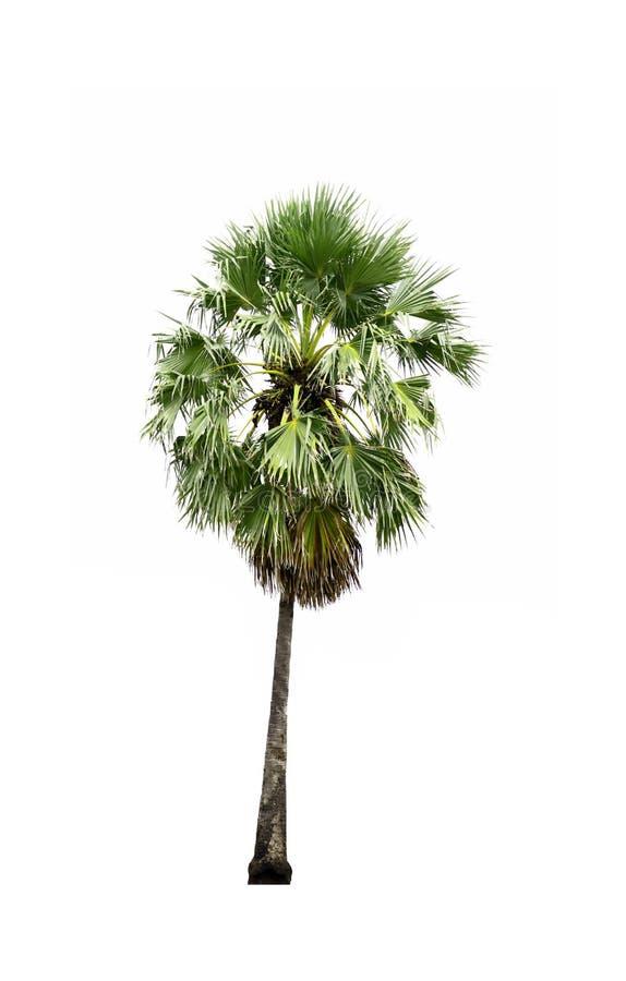 Single of Sugar palm tree isolated on white background. royalty free illustration