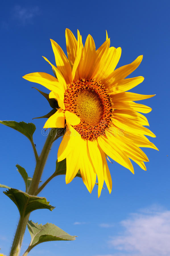 S And B Filters >> Single sunflower stock photo. Image of macro, plant ...