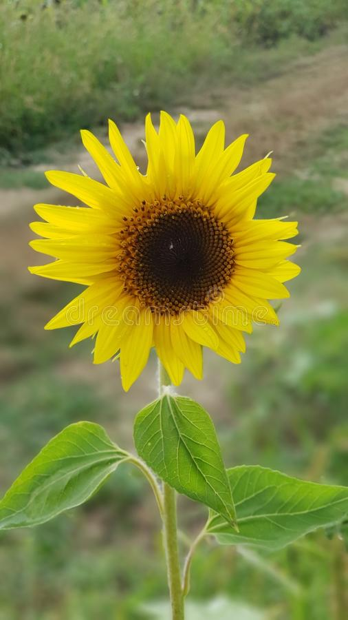 Single Sunflower in the field royalty free stock images
