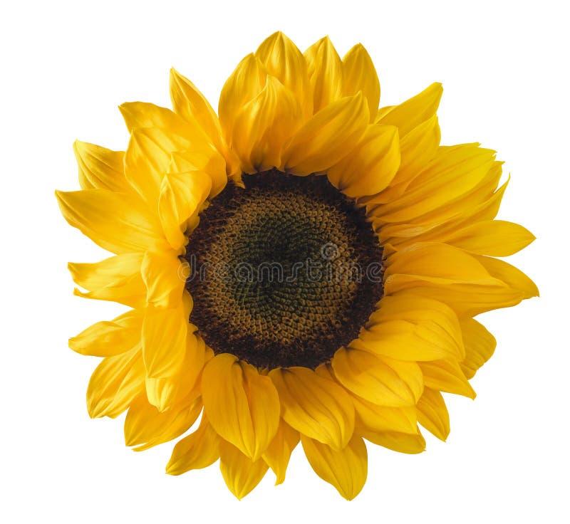 Single Sunflower Isolated On White Background Stock Image ...