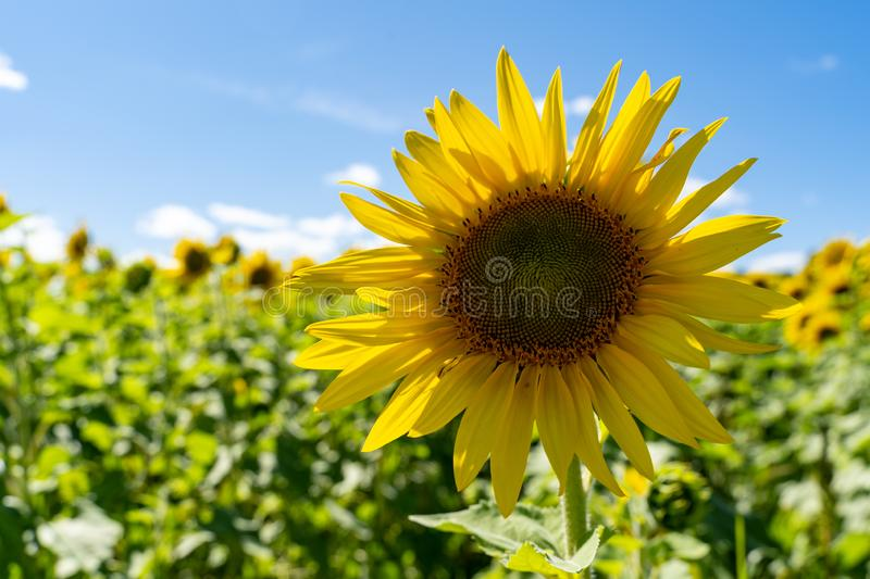 Single sunflower in a large field of sunflowers on a summer day royalty free stock image