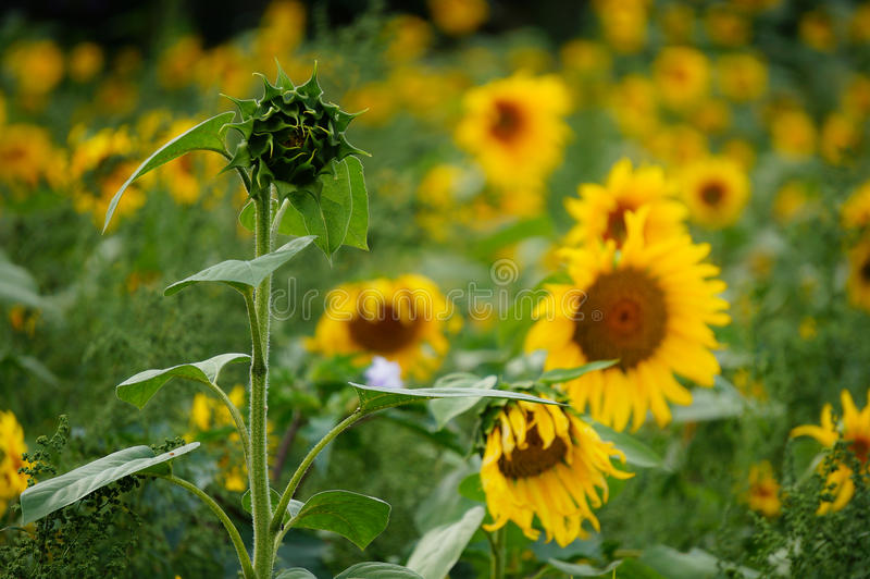 Single sunflower not flourishing like the others stock photo