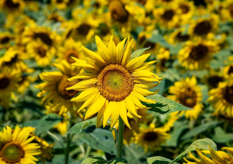 A single sunflower shining brightly with a field of sunflowers behind it shown slightly blurred stock images