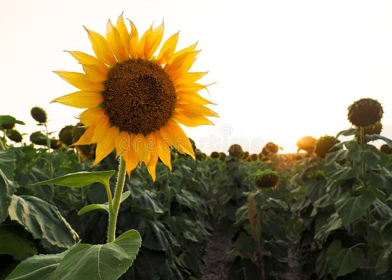 Sunflower In A Field stock photo