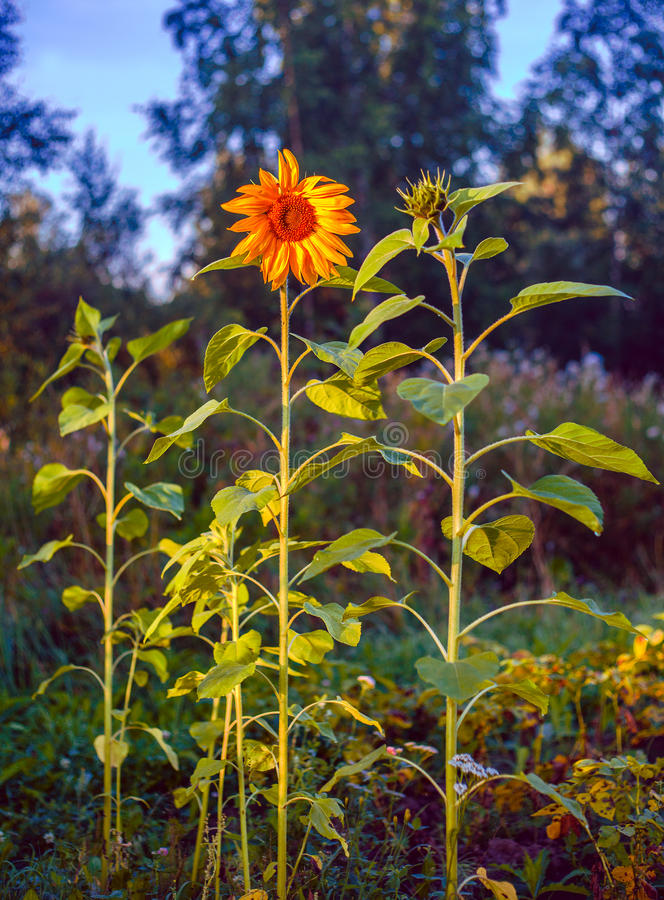 Single sunflower. On a tall stalk stock photo