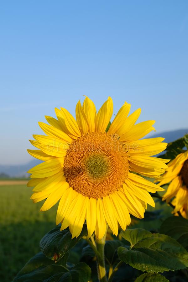 The single Sunflowers stock image