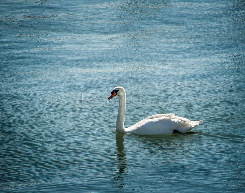 Single swan bird on water surface. Animals in wildlife. Natural background stock images