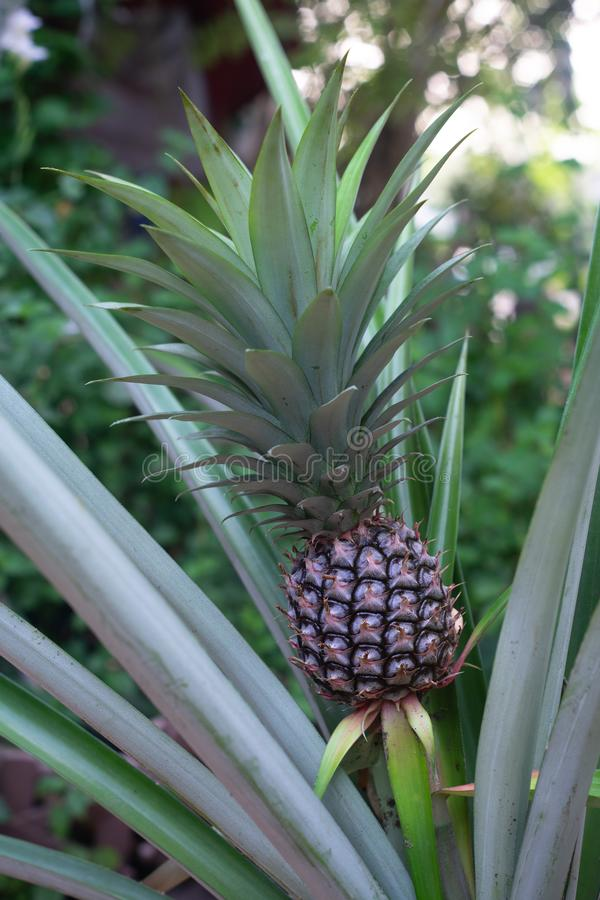 Single sweet pineapple plant at fruiting stage. Copy space object nutrition fresh yellow diet dessert organic natural hawaii food summer slice gourmet tropical royalty free stock photo