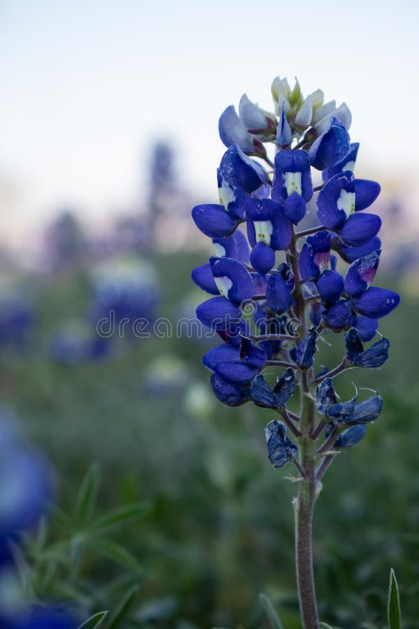Single Texas Bluebonnet Bloom with bokeh background royalty free stock images