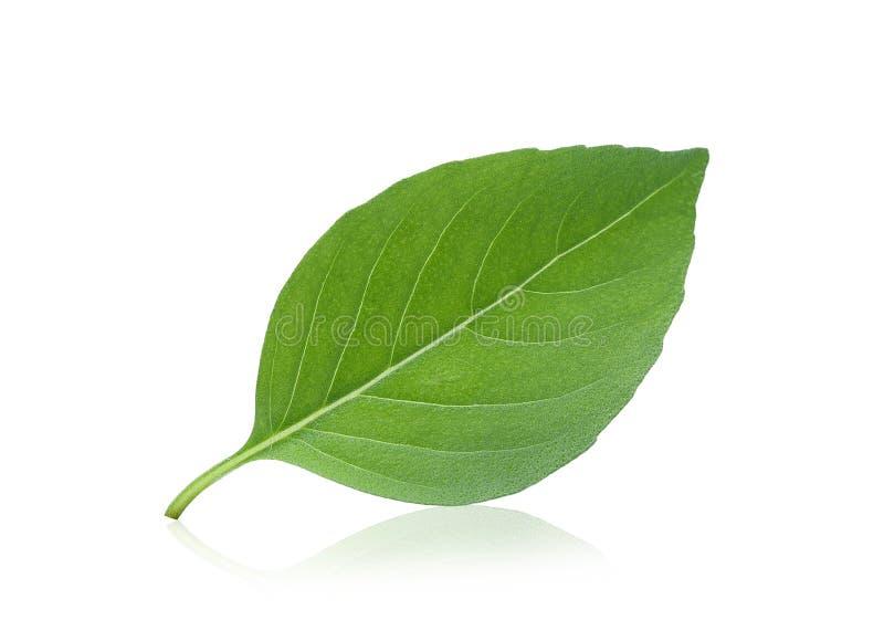 Single thai sweet basil leaf isolated on white. Background stock image