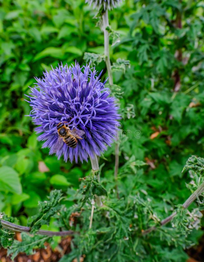 Single thistle flower head closeup with a honey bee polinating. Purple bloom taken in summer stock photos