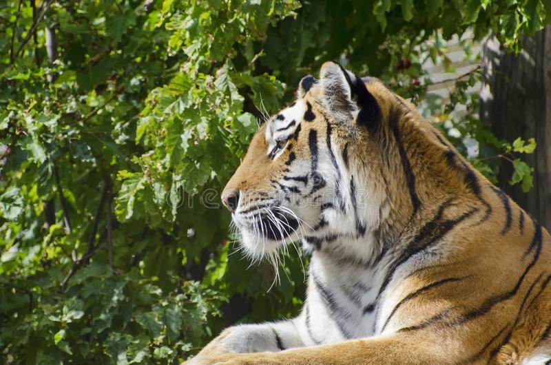 Single Tiger Portrait. Photo of the Single Tiger Portrait royalty free stock photography