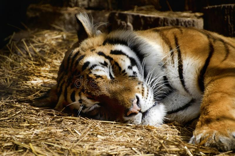 Single Tiger Portrait. Photo of the Single Tiger Portrait royalty free stock images
