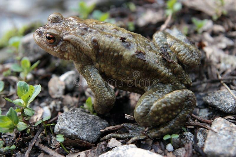 Download Single toad stock image. Image of habitat, amphibian - 24182713