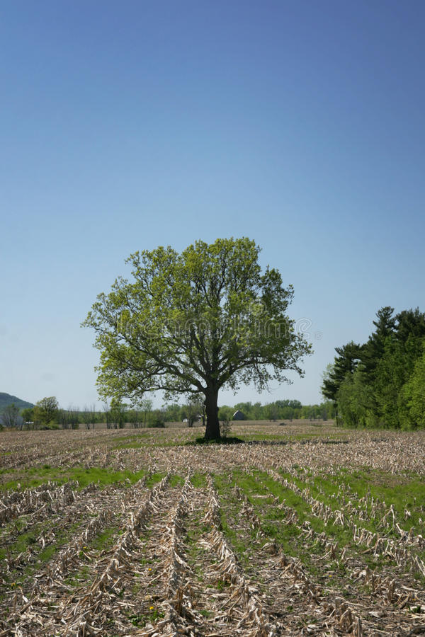 Download Single Tree Royalty Free Stock Images - Image: 14344969
