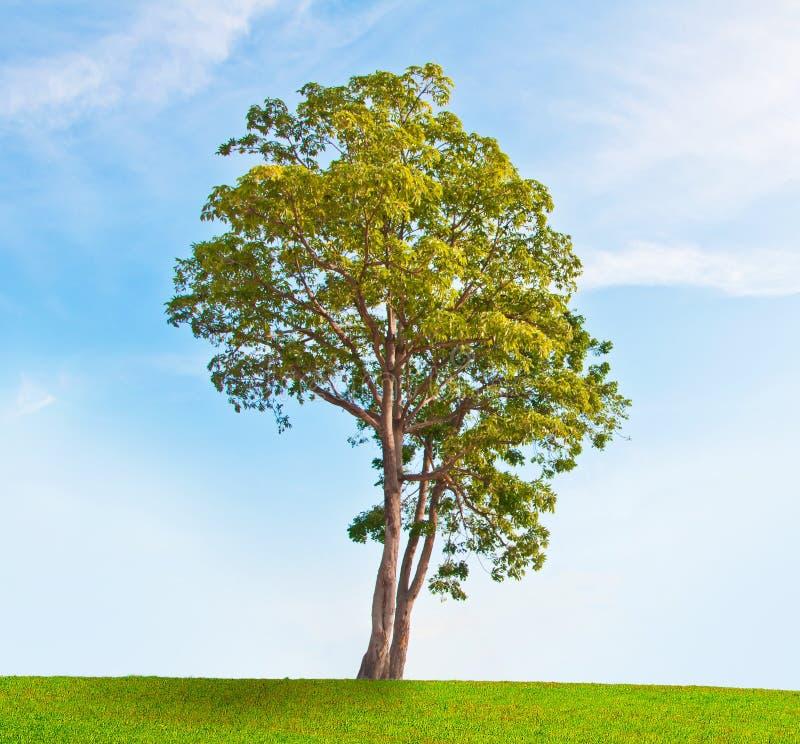 Download Single tree stock image. Image of garden, green, meadow - 22037161