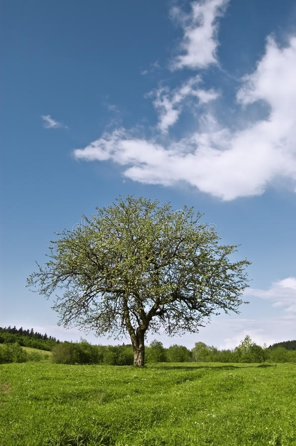 Download Single tree stock image. Image of lonely, grass, meadow - 24974619