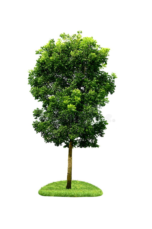 Single tree. Isolated on white background royalty free illustration
