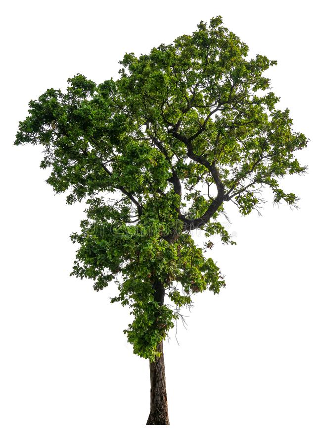 Single tree with clipping path stock image