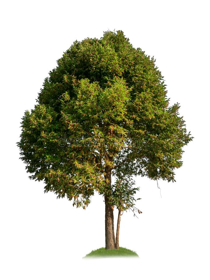 Single tree with clipping path stock illustration