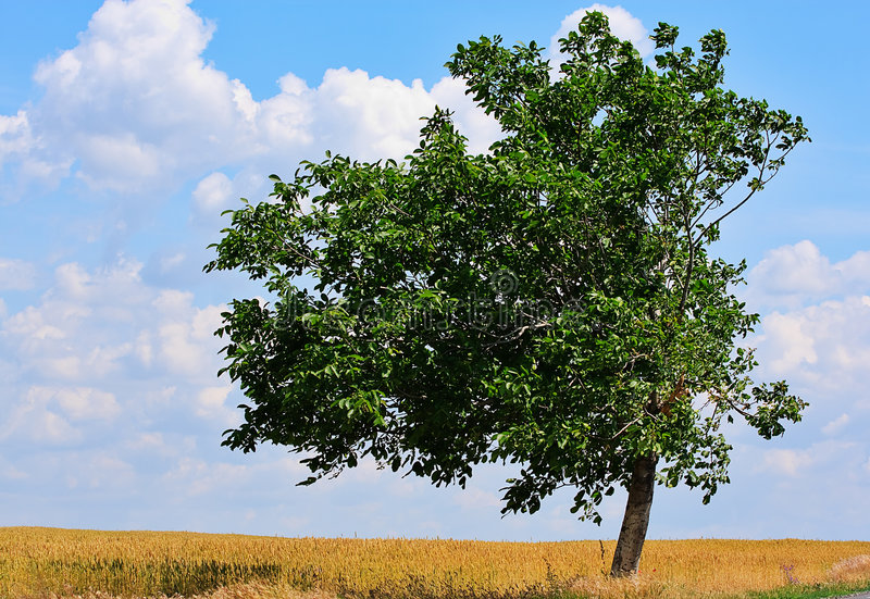 Single Tree In The Field Stock Photography