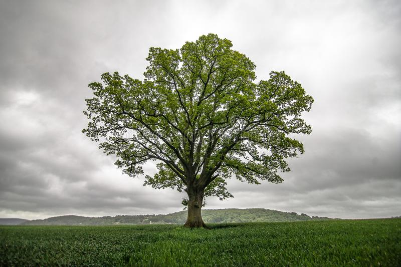 Single tree in field stock photo