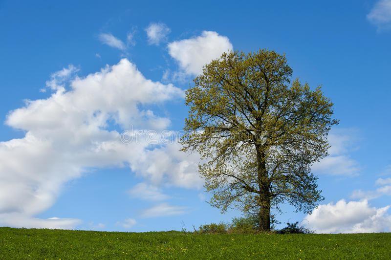 Single tree on a green field. Cloudy sky and a single tree on a green field royalty free stock image