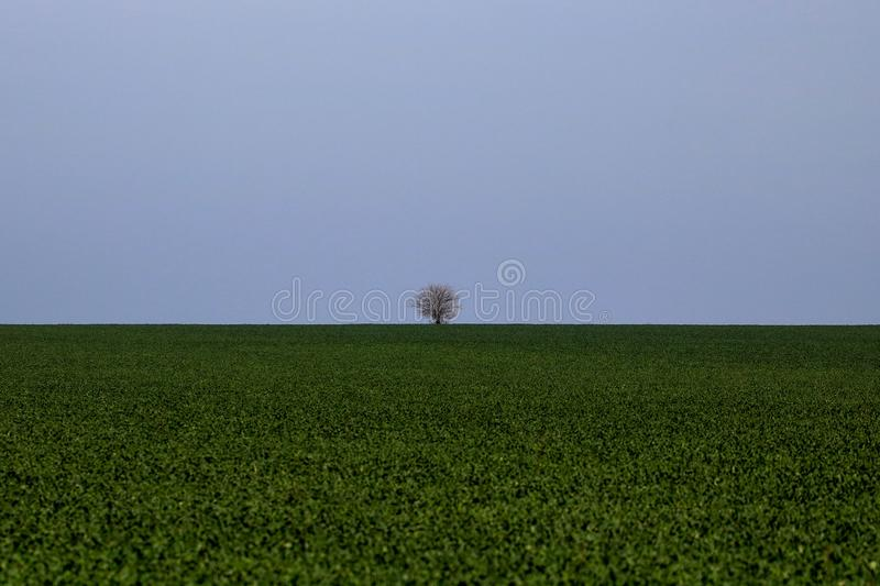 Single tree on a green field. Blue sky. Agricultural field. Grain field stock photos