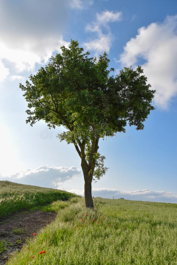 Single tree on a green field of wheat. Lonely tree on a green field of wheat panorama with blue sky an clouds, rural countryside stock photos
