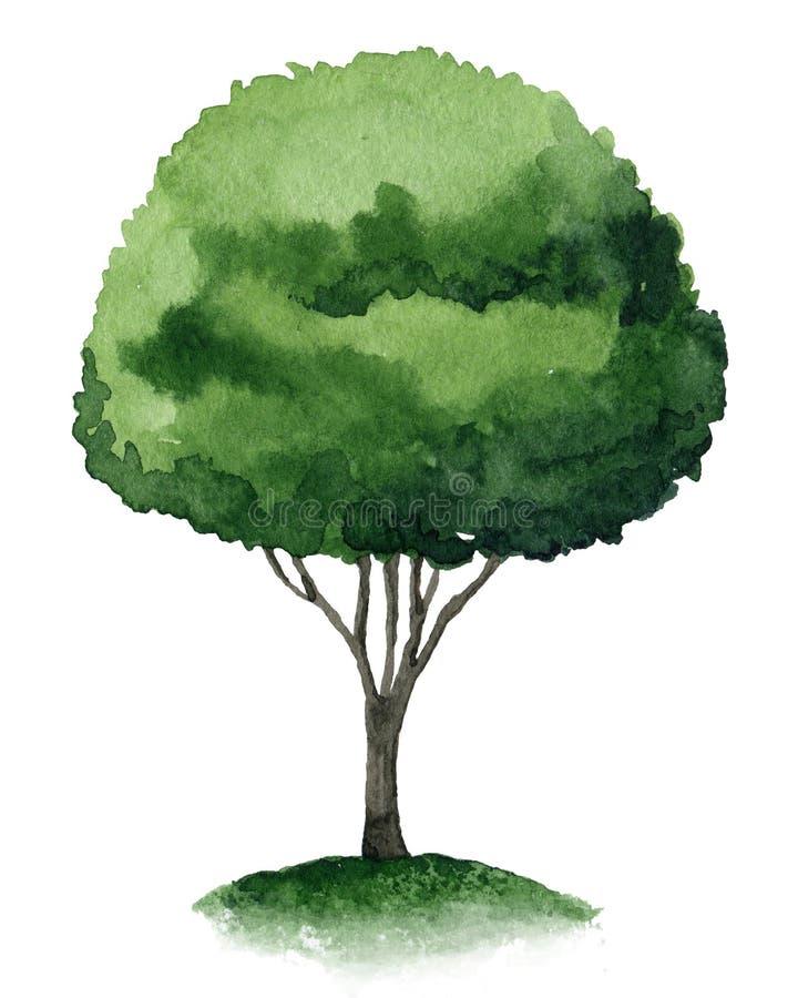 Single tree. Single green tree isolated on white background. Watercolor illustration stock illustration