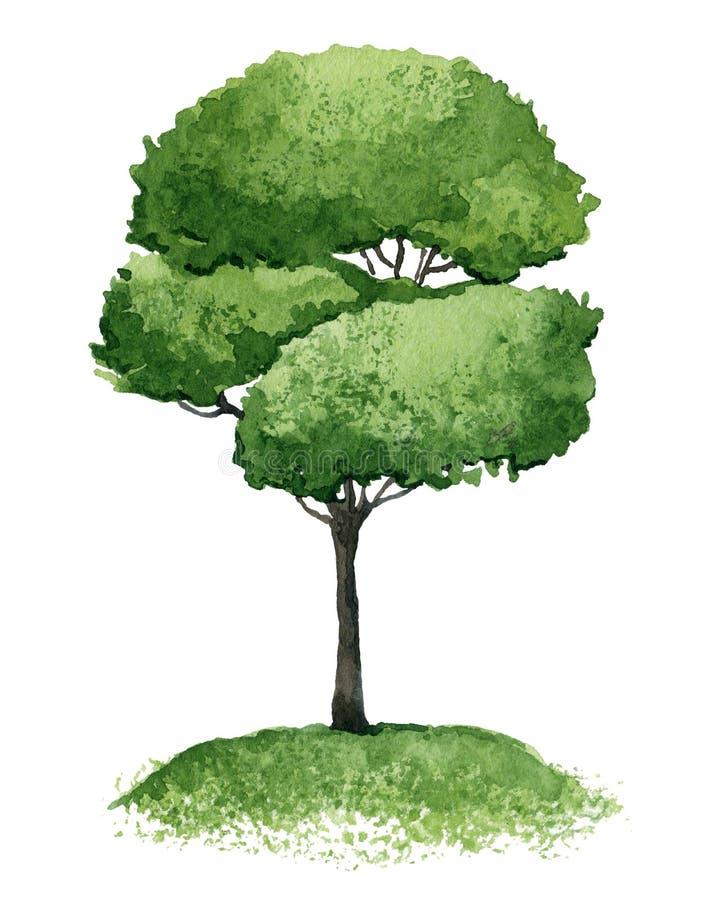 Single tree. Single green tree on white background. Watercolor illustration royalty free illustration