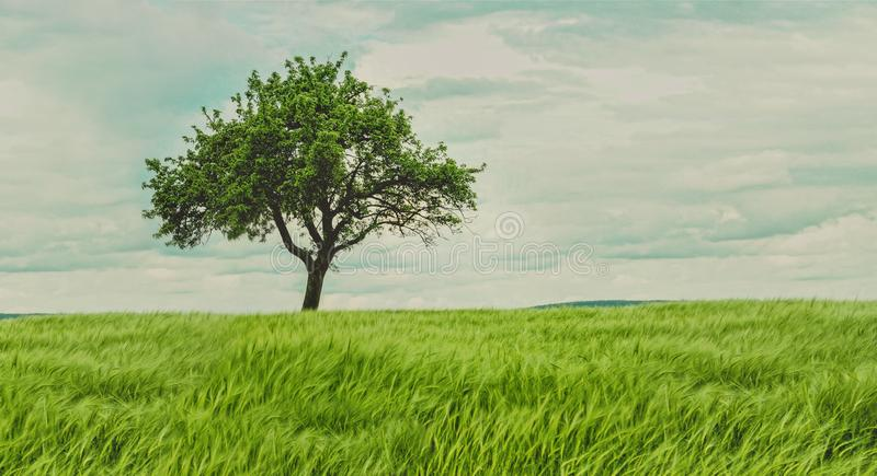 SINGLE TREE GROWN WIDE WITH GREEN LEAFS stock image
