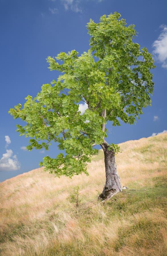 Single tree on a hill royalty free stock photo
