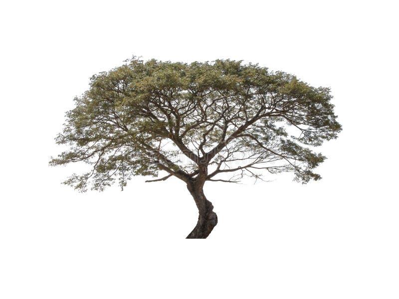 Single tree isolate. On white background stock photography