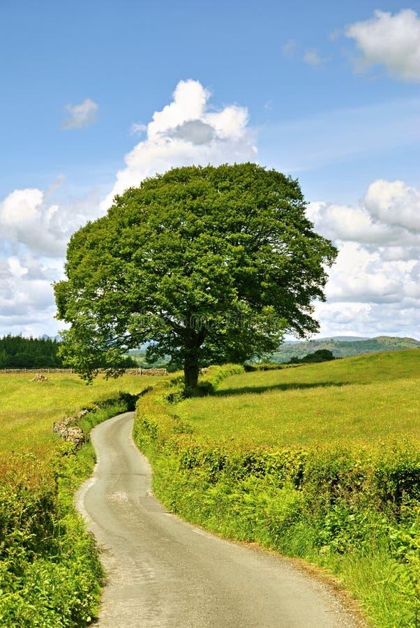 Single tree and lane. A single tree and a lane in meadows near Sawrey stock photos