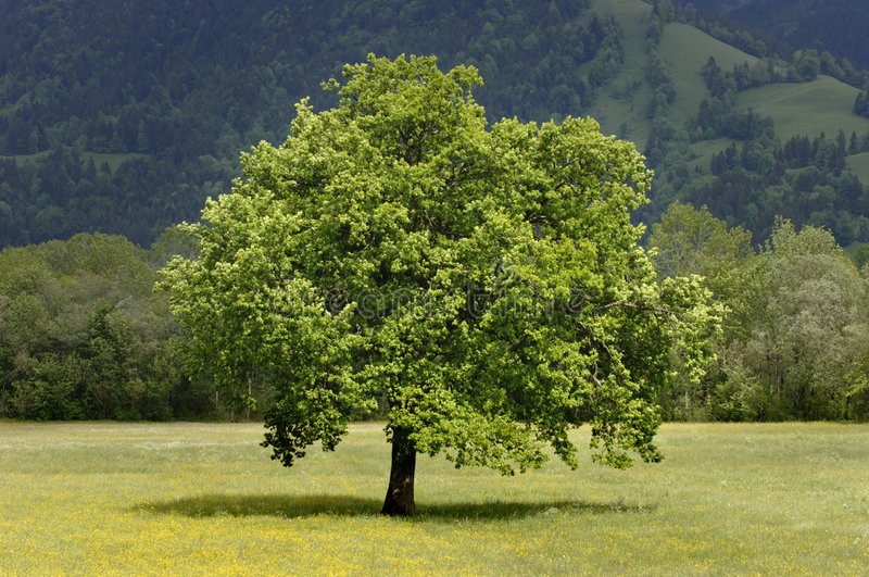 Download Single Tree In Meadow At Springtime Stock Photo - Image: 8668122