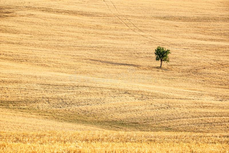 SIngle tree in a the middle of a wheat field in summer, landscape of Tuscany, Italy stock photography