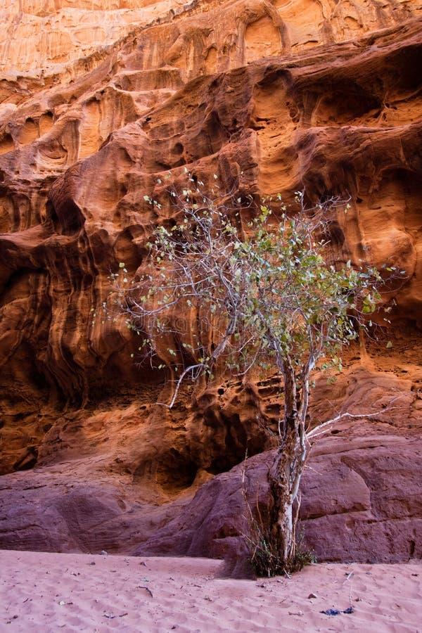 Single tree near mountains in Wadi stock photo