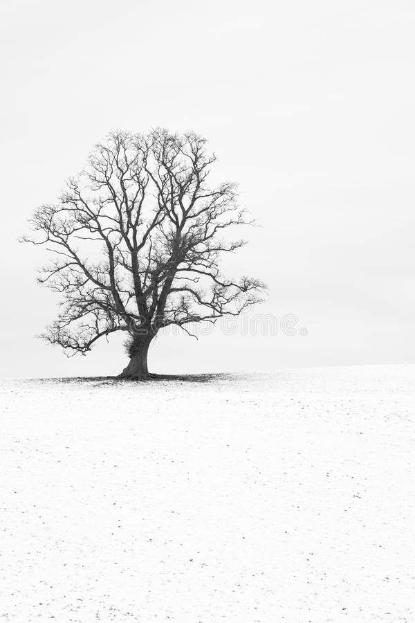 Single tree in a snow-white English landscape. Single tree in a snow white english landscape. Kirkby Lonsdale Cumbria England February 2018 royalty free stock image