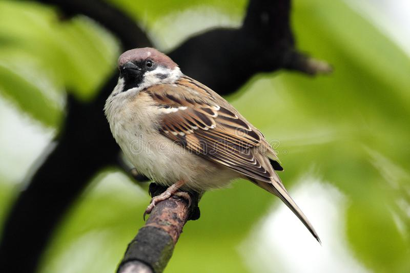 Single Tree Sparrow on a tree branch during a spring period stock images
