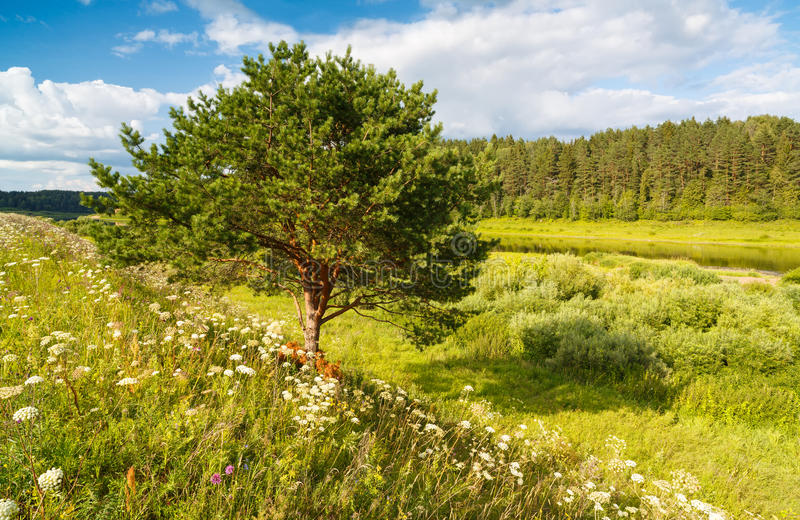 Single Tree Standing Alone with Blue Sky and Grass stock image