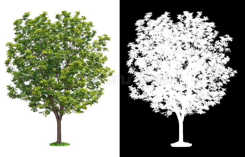 Single tree on transparent picture background with clipping path, single tree with clipping path and alpha channel on black. Background royalty free illustration