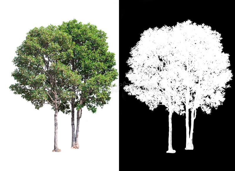 Single tree on transparent picture background with clipping path, single tree with clipping path and alpha channel on black. Background stock illustration