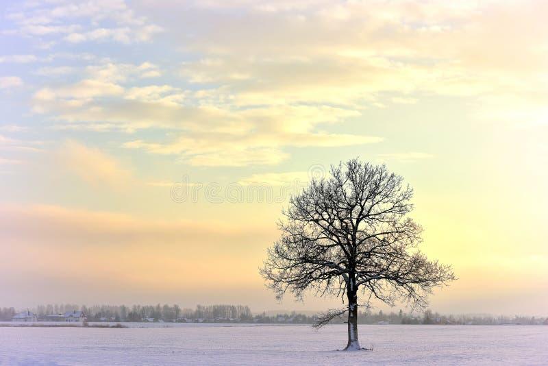 Single tree . Wintertime . royalty free stock photography