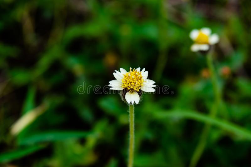 Single Tridax Procumbens, grass flowers growing up on roadside in countryside look fresh and beautiful. royalty free stock photo