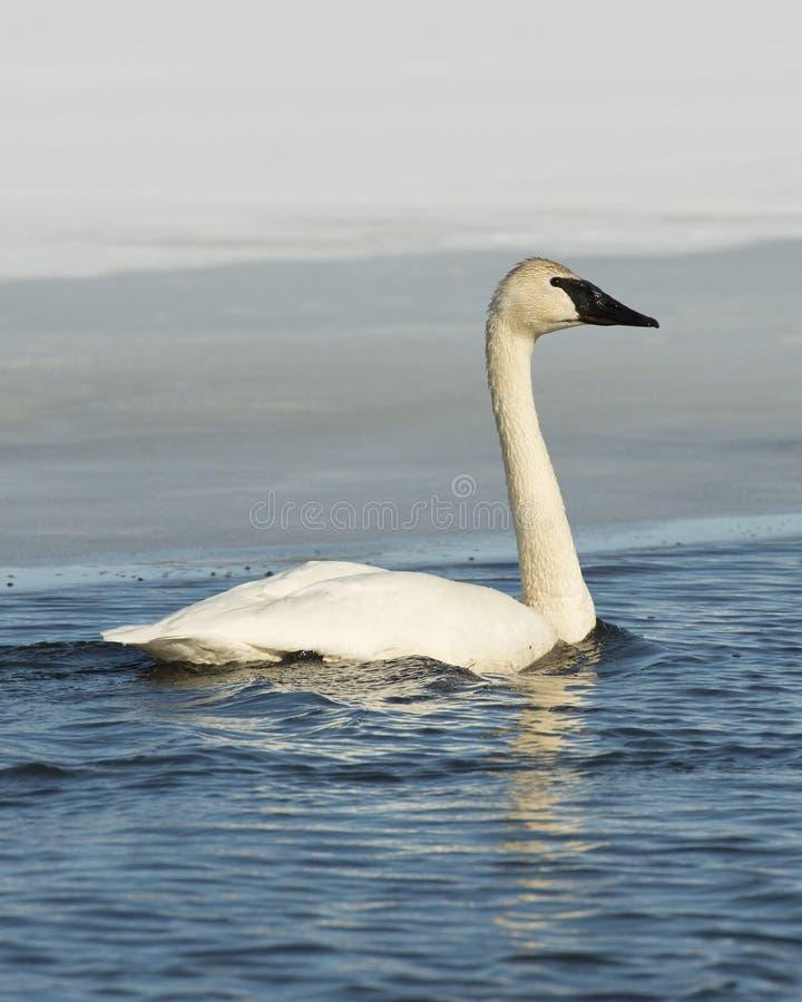 Download Trumpeter Swan stock photo. Image of waterfowl, frozen - 29905254