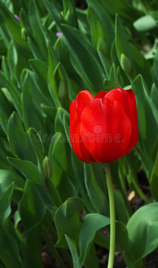 Single tulip. A single stalk of red tulip against the green background stock images