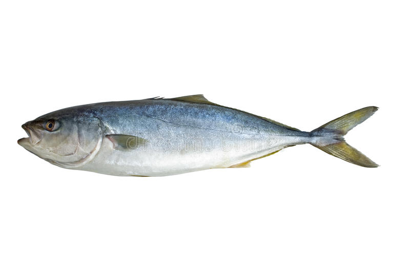 Single tuna fish. Isolated on the white background royalty free stock photo