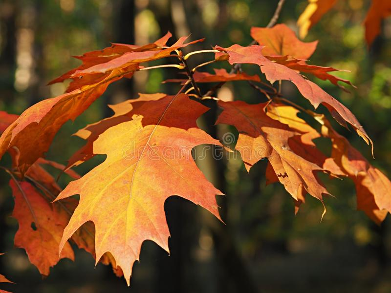 A single twig with red oak leaves on a green forest background stock photos